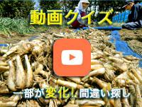 【動画クイズ】どこが変わった? 収穫された「一年掘り」のラッキョウ(坂井市)