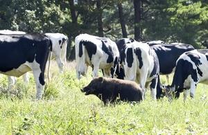 牛に交じって飼料を食べるイノシシ=25日、福井県勝山市