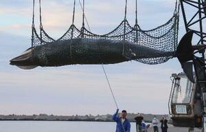 初水揚げされたミンククジラ=24日、北海道網走市(同市提供)