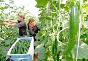 みずみずしく実り、収穫のピークを迎えているキュウリ=5月13日、福井県福井市佐野町