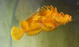 悠々と水槽の中を泳ぐ黄金色のオコゼ=福井県越前町厨の海産物販売店「越前うおいち」