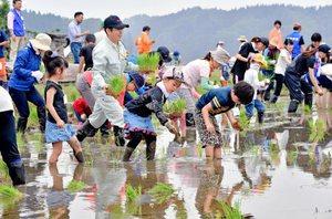 ぬかるんだ田んぼで苗を手植えする参加者=28日、福井県越前市
