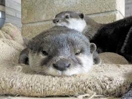 現在5位のコツメカワウソの「シズク」(手前)=越前松島水族館提供