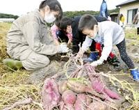 サツマイモ掘り障害者らが体験 敦賀