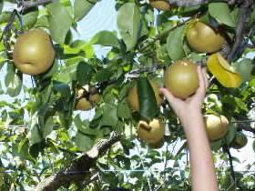 なし甘みたっぷり!坂井北部丘陵地でナシの収穫