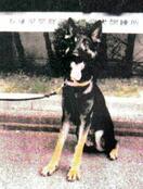 捜索活動中に警察犬逃げる