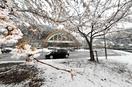 4月の雪、ソメイヨシノと競演