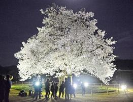 ライトアップされた校庭の桜=10日夜、福井県越前市の味真野小