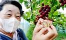 ハート形ブドウ 甘~い 鯖江の果樹園で収穫期