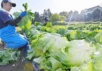 シャキシャキ食感の越前レタス、収穫してその日のうちに店頭へ 福井市などで収穫始まる