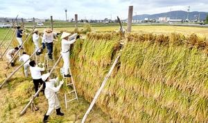 はさに次々と掛けられる「九頭竜天日干し米」の稲穂=9月17日、福井県福井市天池町