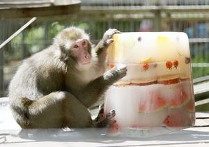 サルに「氷のケーキ」気分…