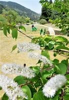青空の下で満開に咲く皇后さまお手植えのウワミズザクラ=8日、福井市の一乗谷朝倉氏遺跡
