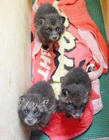 保護されている3きょうだいの子ダヌキ=15日、福井県自然保護センター