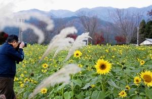 季節外れのヒマワリが咲き乱れ、秋の風物詩と共演している=11月20日、福井県大野市蓑道