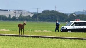 水田地帯に現れた雄の鹿。パトカーも出動したがあっという間に逃げ去った=8月8日午前、福井県坂井市春江町石塚