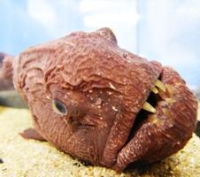 オオカミのような牙を持つ「オオカミウオ」=7月20日、福井県坂井市の越前松島水族館