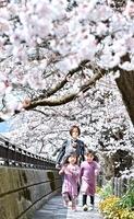足羽川堤防沿いの桜を楽しむ下村さん親子=3月26日、福井市中央3丁目