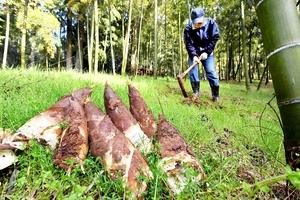 朝掘りで収穫されたみずみずしいタケノコ=4月15日、福井市越前町蚊谷寺