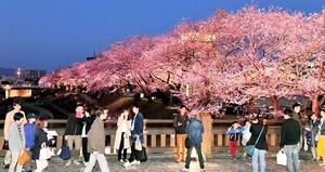 イルミネーションで幻想的に彩られた足羽川の桜並木=31日午後6時40分ごろ、福井市左内町