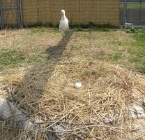 ペアが産み落としたことし最初の卵と見守る「ふっくん」=4月4日、福井県越前市(福井県提供)