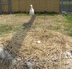 飼育7年目コウノトリ初の有精卵