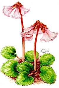 レッツ!植物楽 イワカガミ(岩鏡) イワウメ科 人気のある高山植物