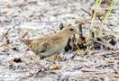 野鳥ヒメクイナを福井県内で確認