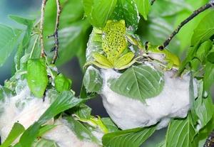 モリアオガエル産卵、初夏の風情