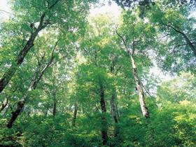 静寂の中、森林浴が楽しめるブナ林。トチノ木は天然記念物