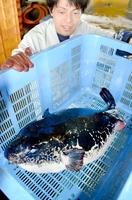 若狭湾でお化けトラフグ水揚げ 重さ9キロ、刺し身や鍋で30人分 ...
