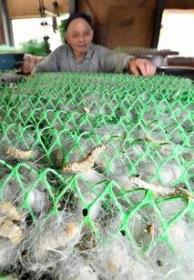 福井の養蚕農家で繭の生産始まる