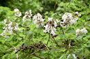 白い花のキリ、越前町で見つかる