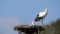 野外コウノトリ今年も福井県内で産卵
