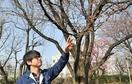 桜開花宣言、昨年より7日早く