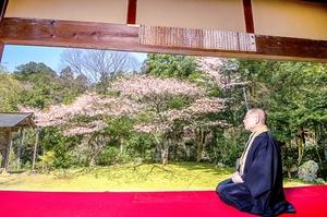 特等席から山桜、いかが