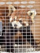 鯖江市西山動物園 レッサーパンダ 立派な母にな…