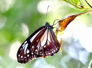 枝の葉に止まり、羽を休めるアサギマダラ=9月22日、福井県福井市の八幡山