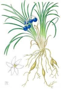 【レッツ!植物楽】ジャノヒゲ(蛇の鬚) キジカクシ科(旧ユリ科) 瑠璃色の美しい種子