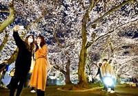 光る夜桜、県都開宴 福井はや満開 観測史上最速 平年より13日