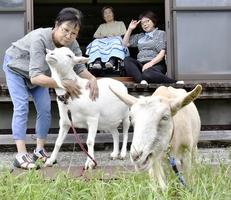 老人介護施設「和が家」で飼われているヤギ2頭。利用者に元気を与える存在になっている=福井県大野市中据