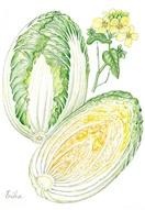 【レッツ!植物楽】ハクサイ(白菜) アブラナ科…