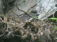 ニホンイヌワシのひな、繁殖確認