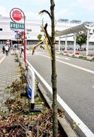 無残に枝が折られたアオッサ近くの街路樹=11日、福井市手寄1丁目