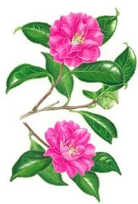 【レッツ!植物楽】 カンツバキ(寒椿) ツバキ科 サザンカ系のツバキ