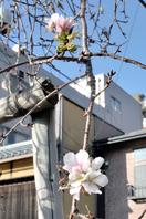 季節外れの桜開花、市民驚きの声