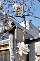 季節外れの花が咲いているサクラ=11月5日、福井県福井市中央3丁目