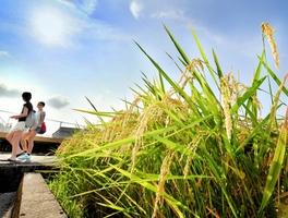 連日の猛暑、好天。強い日差しを浴び、黄金に色づく稲穂=6日、福井市河水町