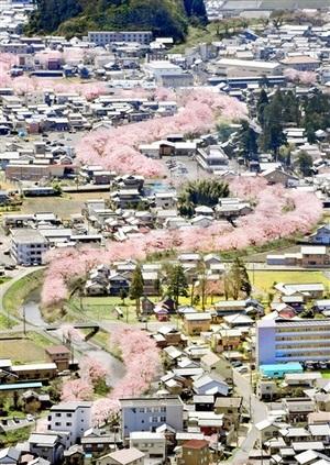 空から見た桜並木、鮮やかピンクの帯