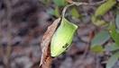 ウスタビガの繭 冬空に映える緑色の袋 足羽三山…